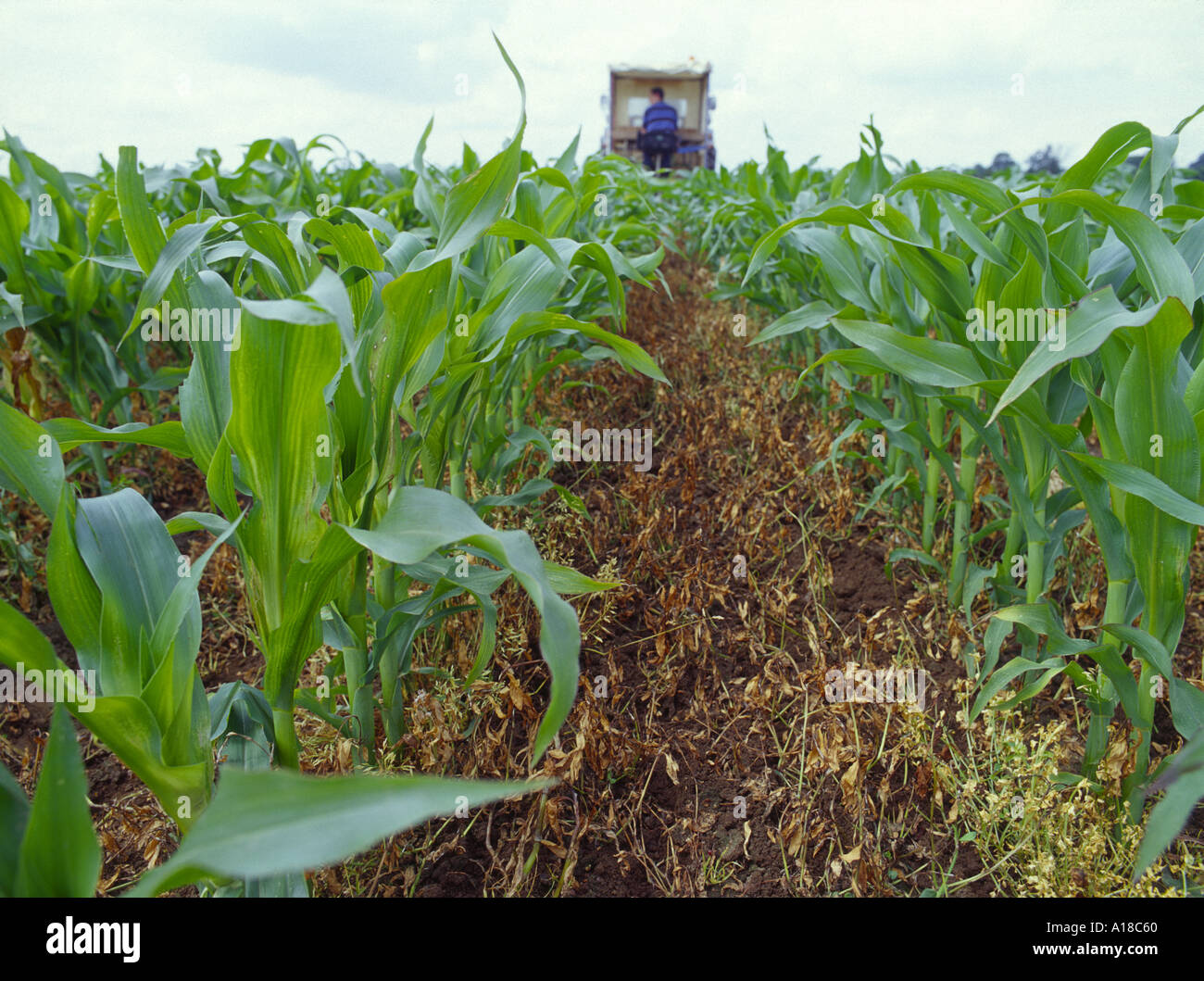 GM Transgenic maize corn in field trial showing ground and mature maize plus tractor in distance Image shows advantage of GM - Stock Image