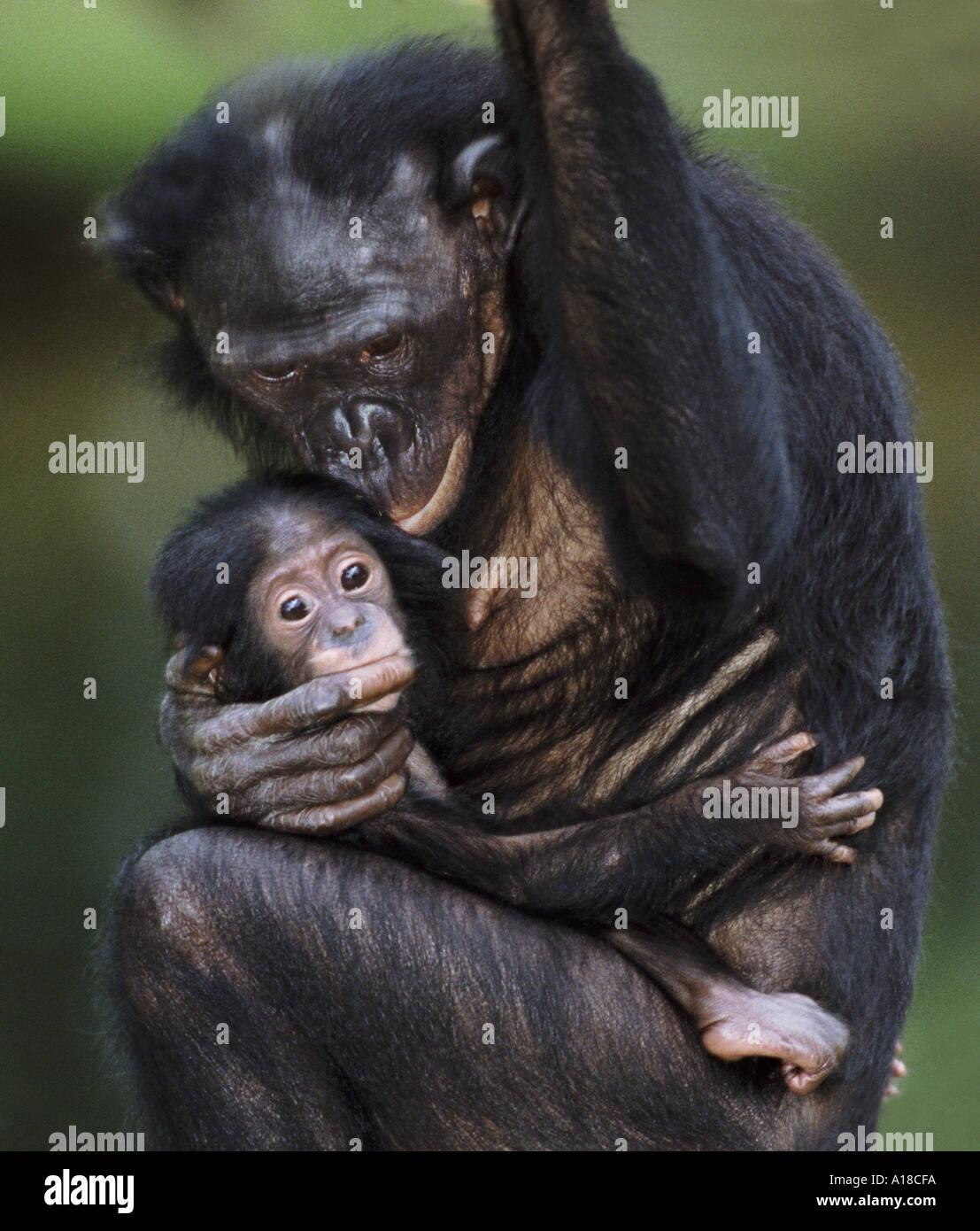 Mother and baby bonobo - Stock Image