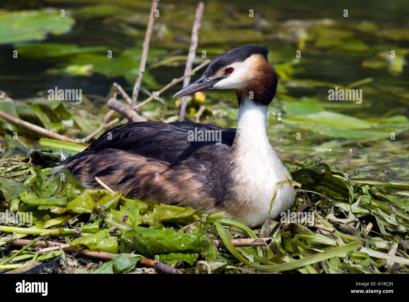 Great Crested Grebe on nest. - Stock Image