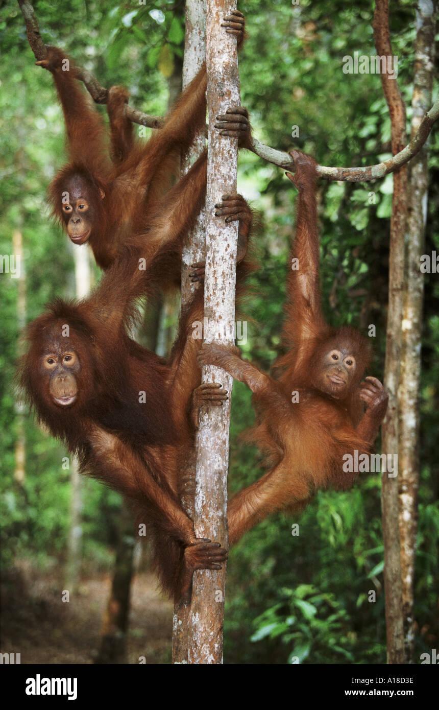Three juvenile orangutans Tanjung Puting Borneo - Stock Image
