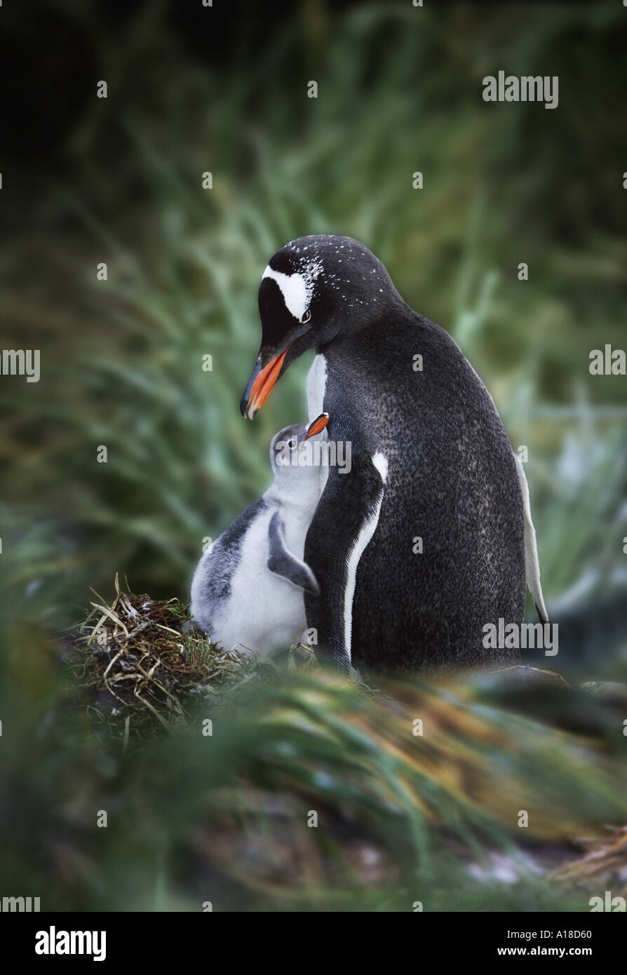 Gentoo penguin mother and chick South Georgia Island Stock Photo