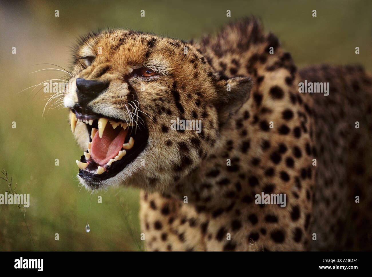 Snarling cheetah South Africa - Stock Image