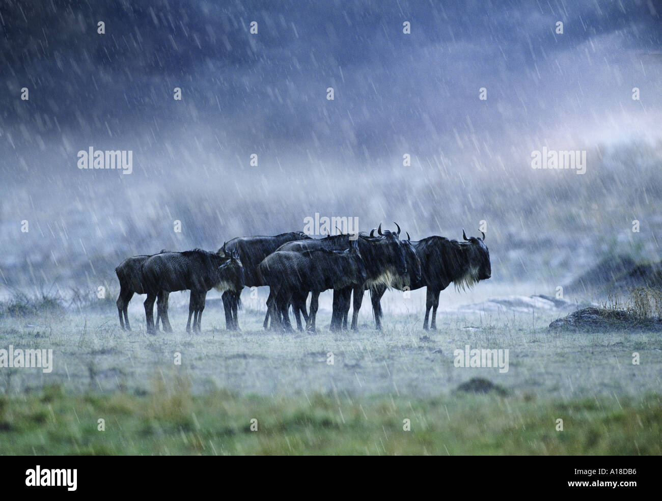 Wildebeest in the rain Masai Mara Kenya - Stock Image
