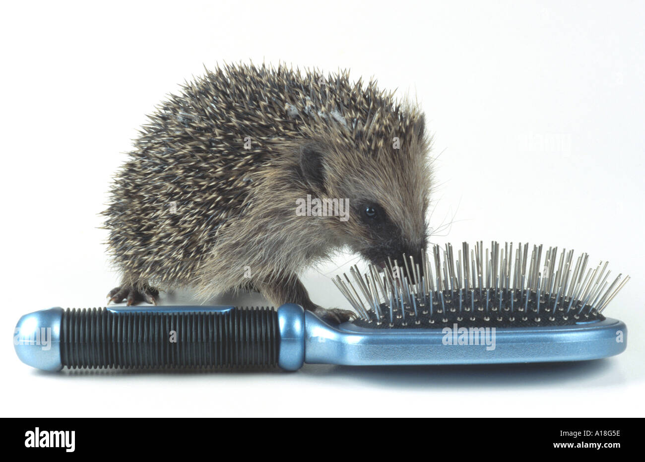 western hedgehog, European hedgehog (Erinaceus europaeus), young sniffing at hairbrush. - Stock Image