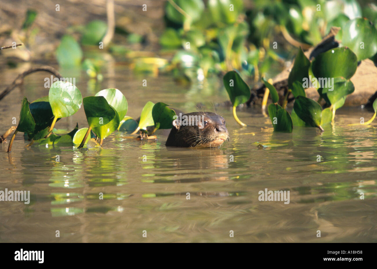 giant otter (Pteronura brasiliensis), head looking out of a body of water. - Stock Image