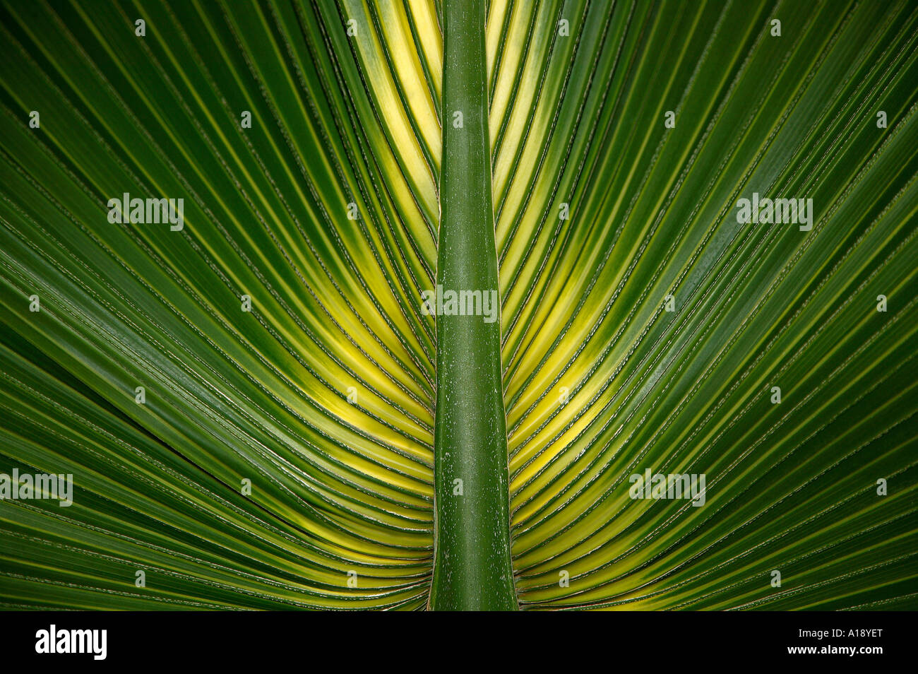 Palm leaf symmetry - Stock Image