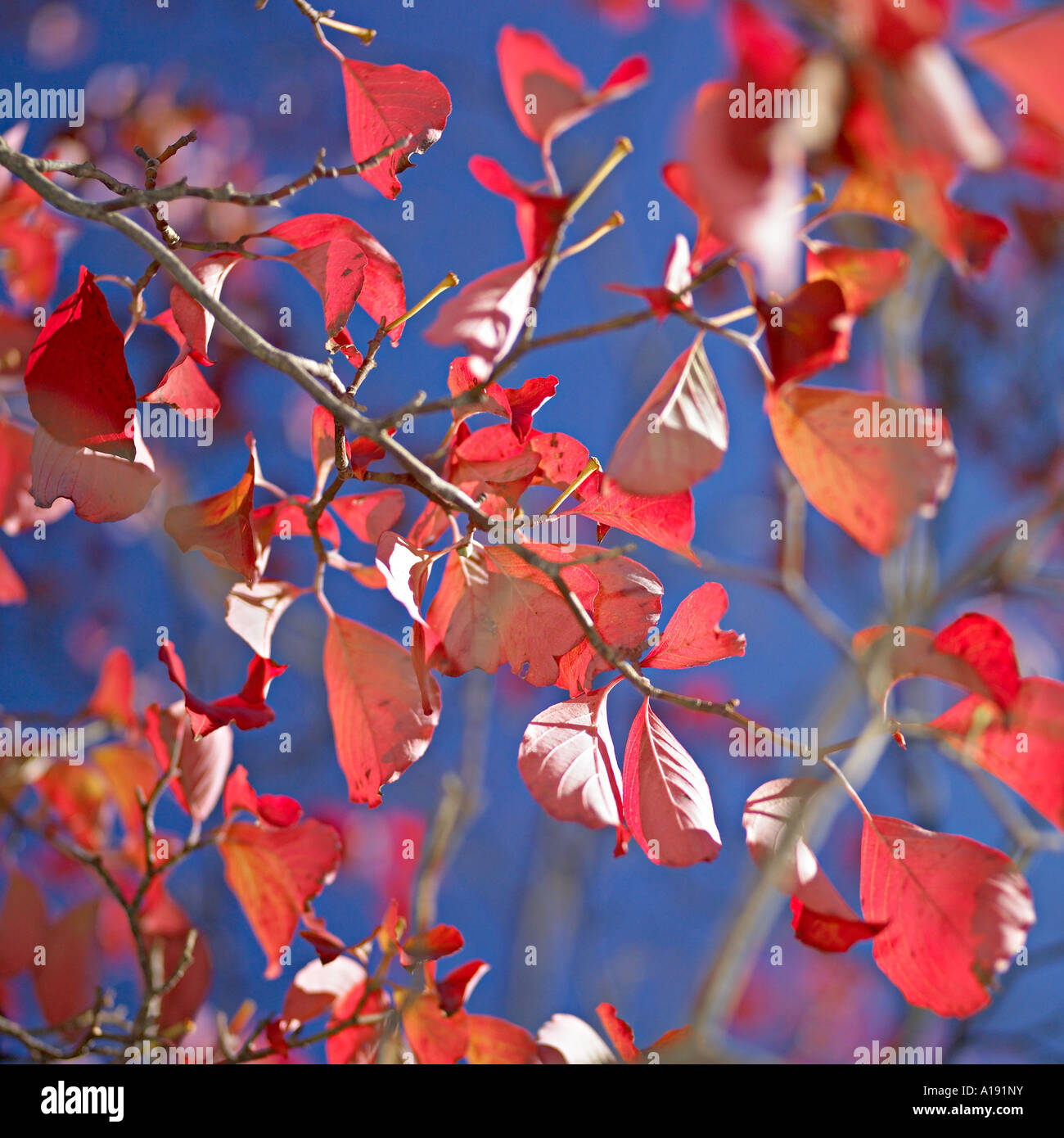 Tree branches with red leaves against blue sky - Stock Image