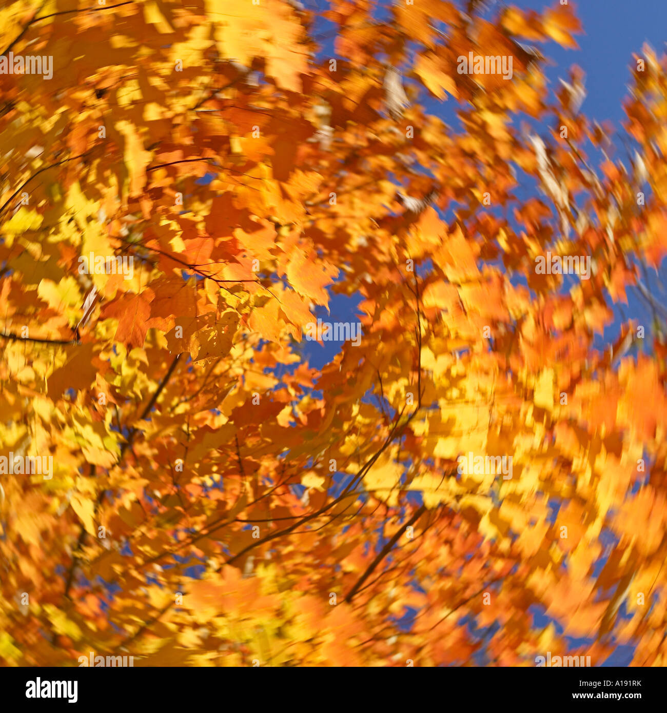 Yellow leaves against of distant blue sky background - Stock Image