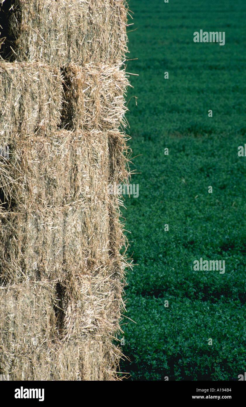 alfalfa hay stacked bales - Stock Image