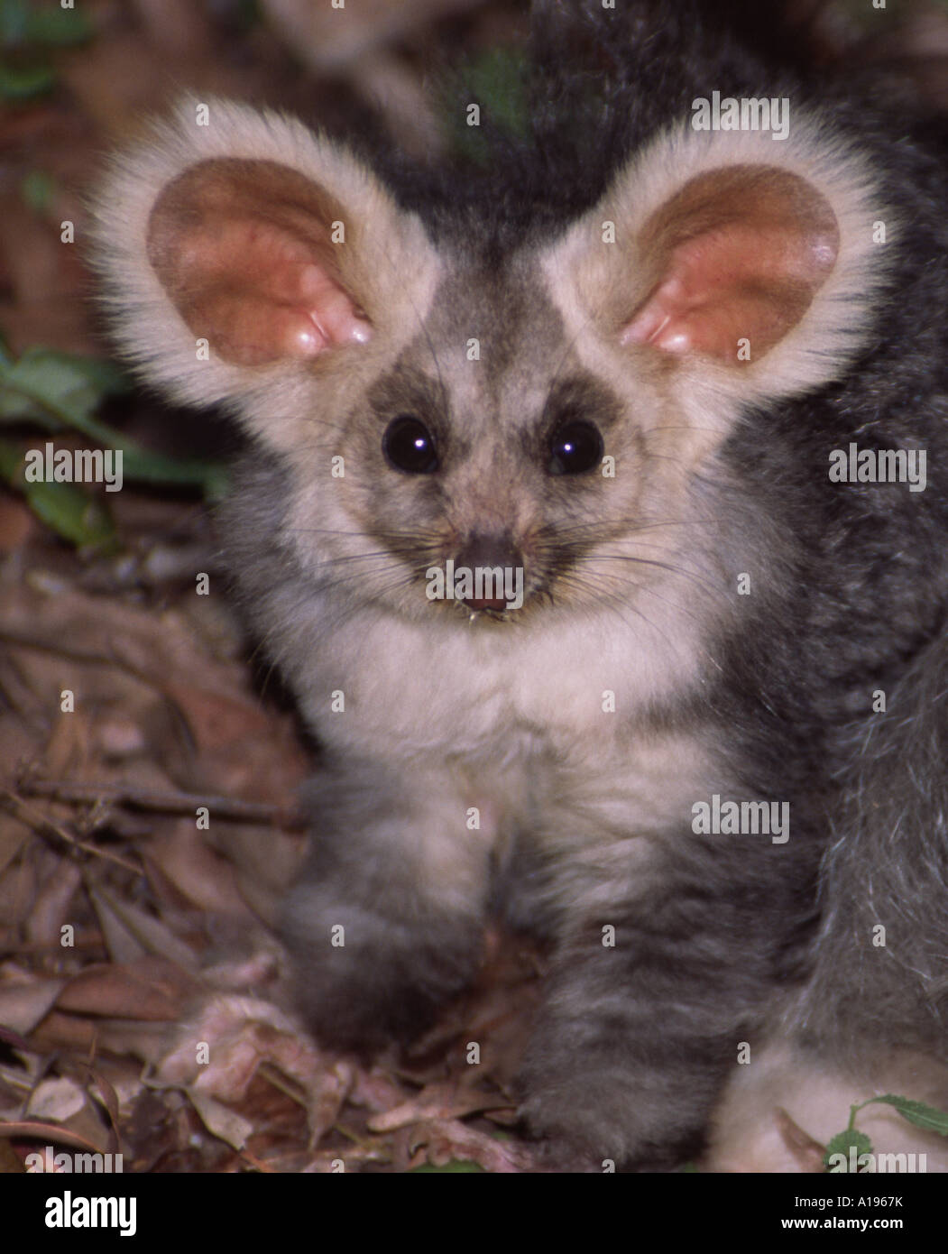 A rarely seen nocturnal animal, an arboreal Australian greater glider, photographed in the wild in native forest - Stock Image