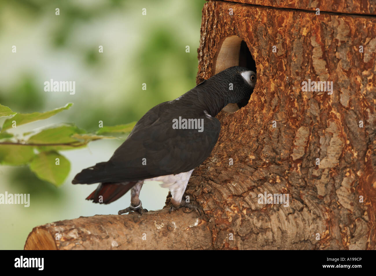 Timneh African Grey parrot looking in hole / Psittacus erithacus timneh - Stock Image