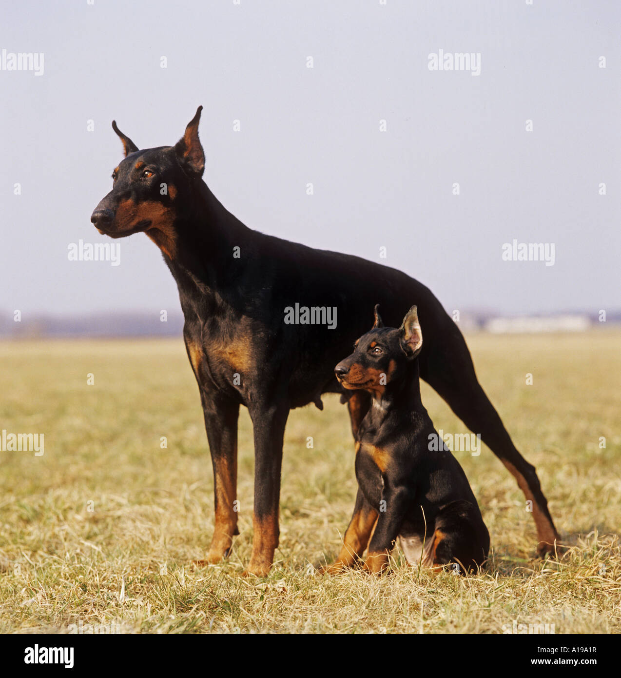Dobermann and puppy with docked ears - Stock Image