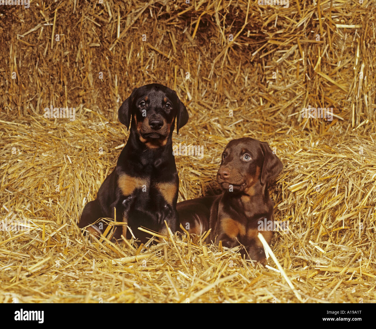 2 Dobermann puppies in straw - Stock Image