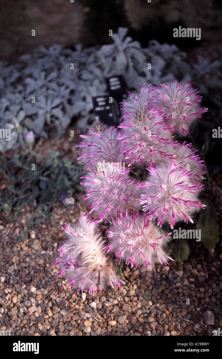 Ptilotus manglesii perennial from western australia flowers july ptilotus manglesii perennial from western australia flowers july janiuary photographed in the alpine house at kew gardens mightylinksfo