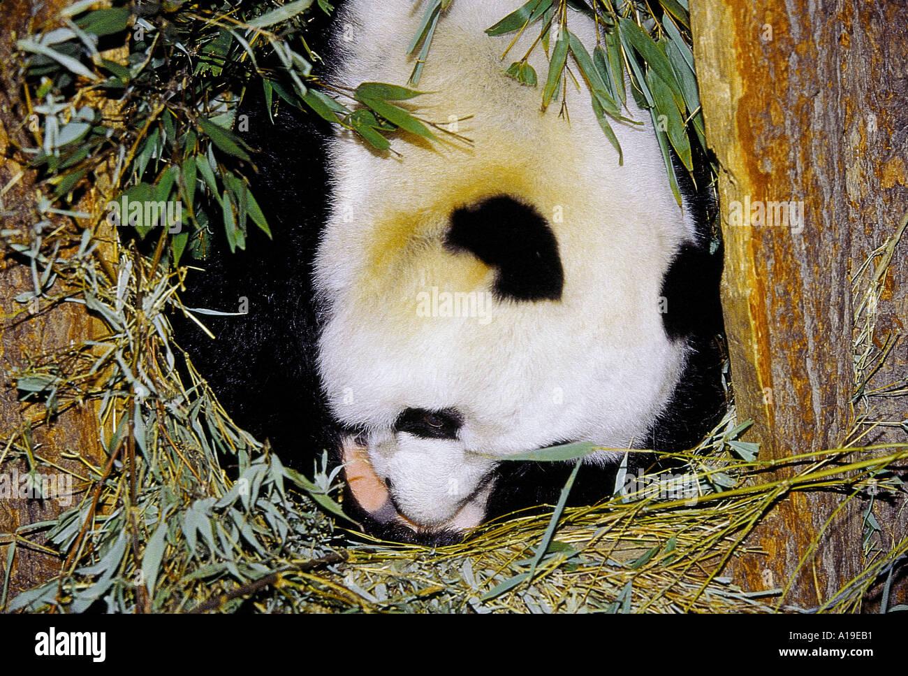 Newborn panda and mom - photo#44