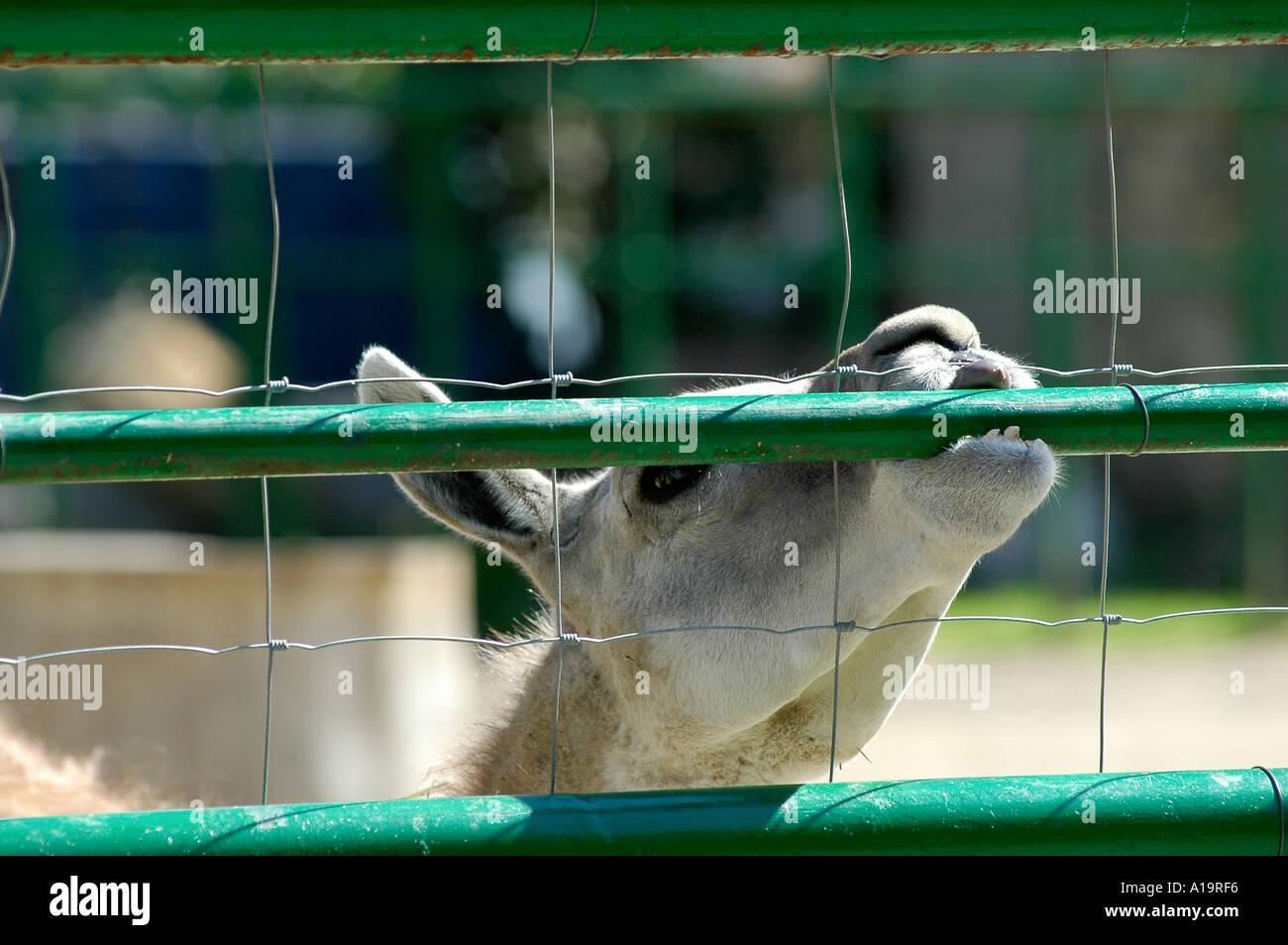 Guanaco at Barcelona s Zoo - Stock Image