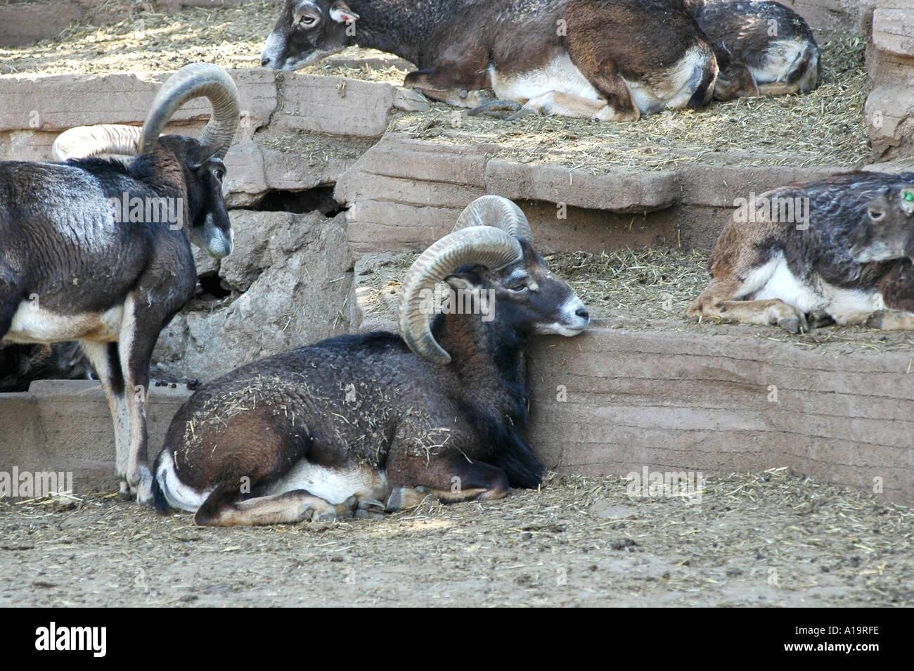 Mouflon wild sheep - Stock Image