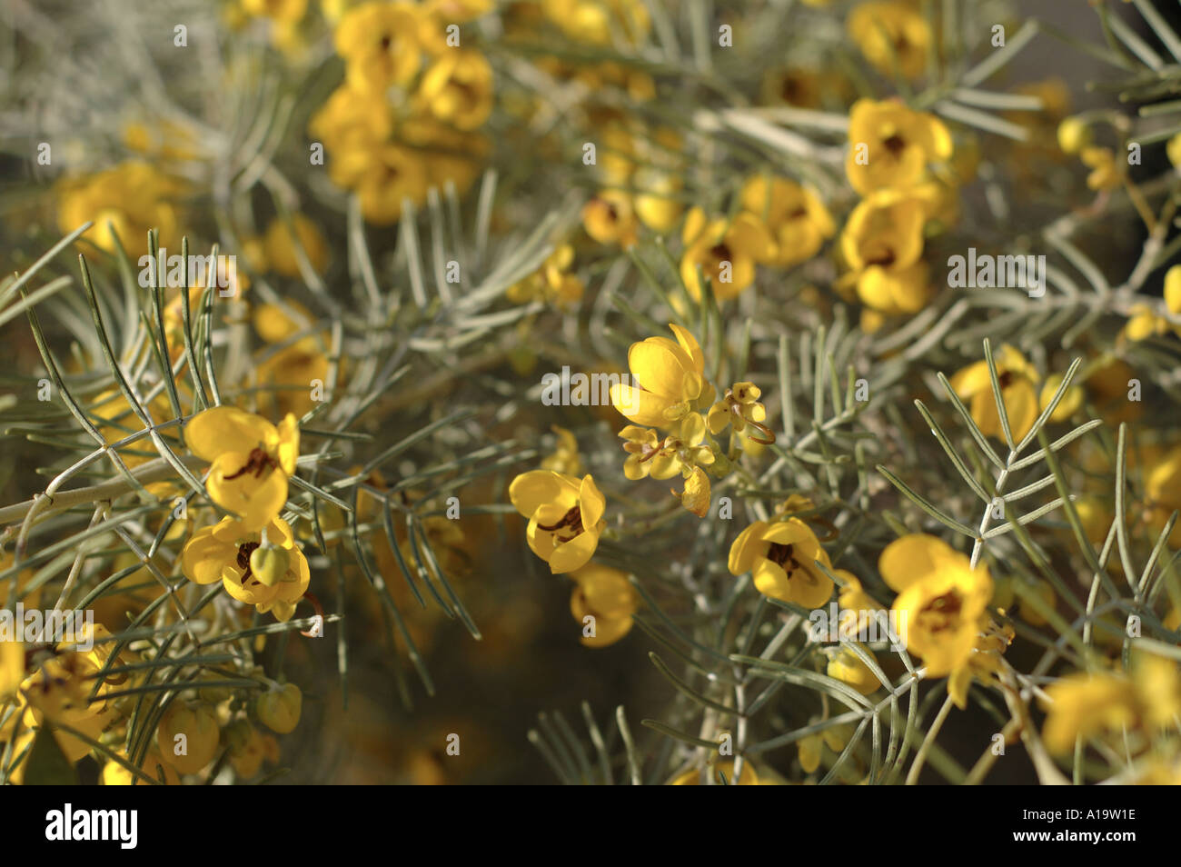 Casias Desert Plant With Yellow Blooms In Sun Stock Photo 3327261