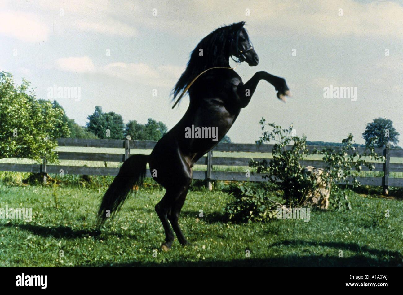 The Black Stallion Year 1979 Director Carroll Ballard - Stock Image