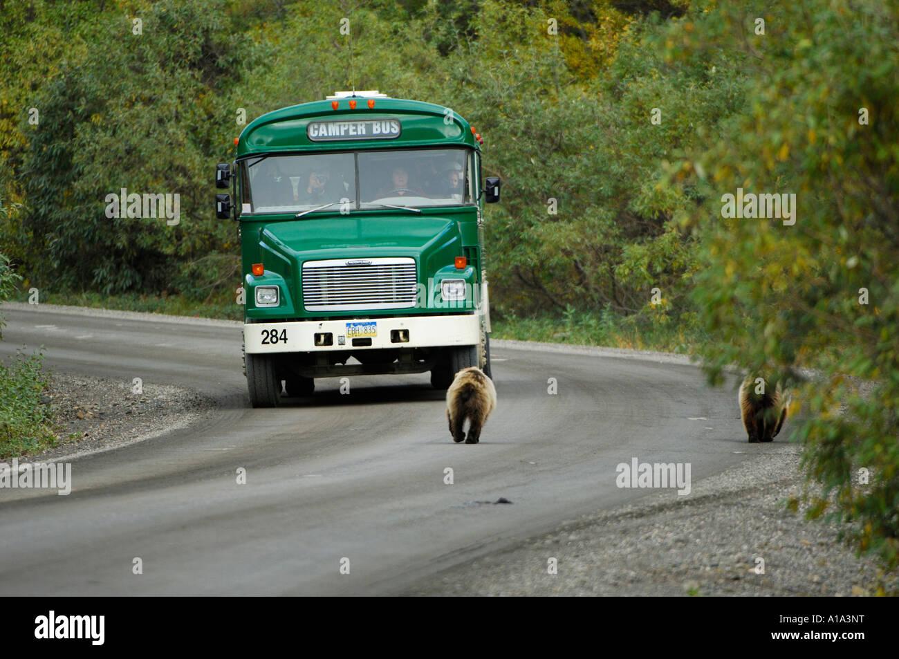 Camperbus and Grizzlybaers (Ursus arctos) to meet on the Parkroad , Denali Nationalpark Alaska USA - Stock Image