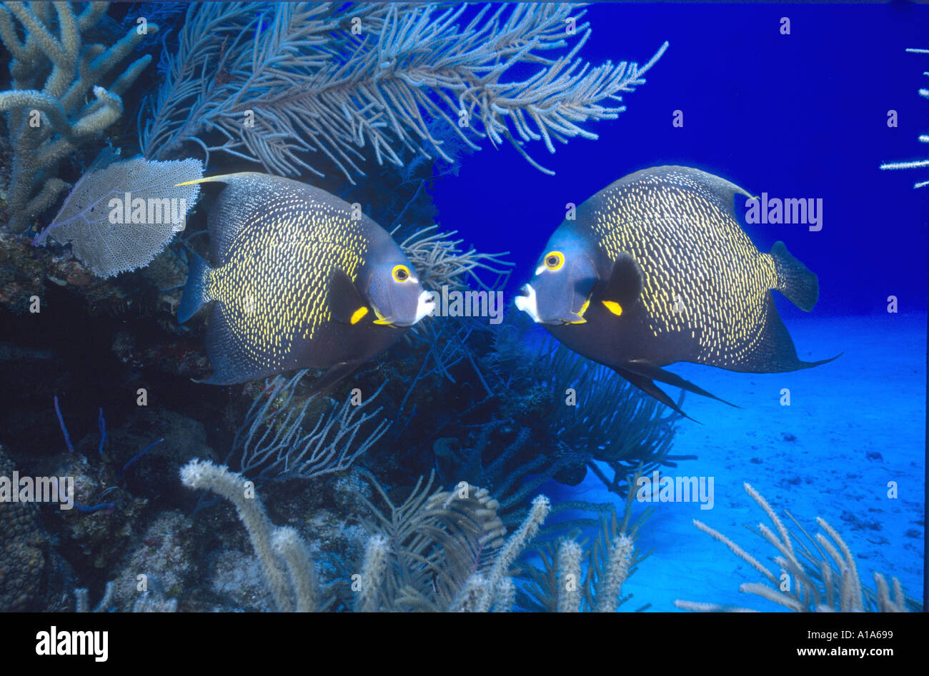 Angel fish couple, underwater, Grand Cayman, ocean, sea, scuba, diving, marine life, sea life, blue water, Cayman Islands, two - Stock Image