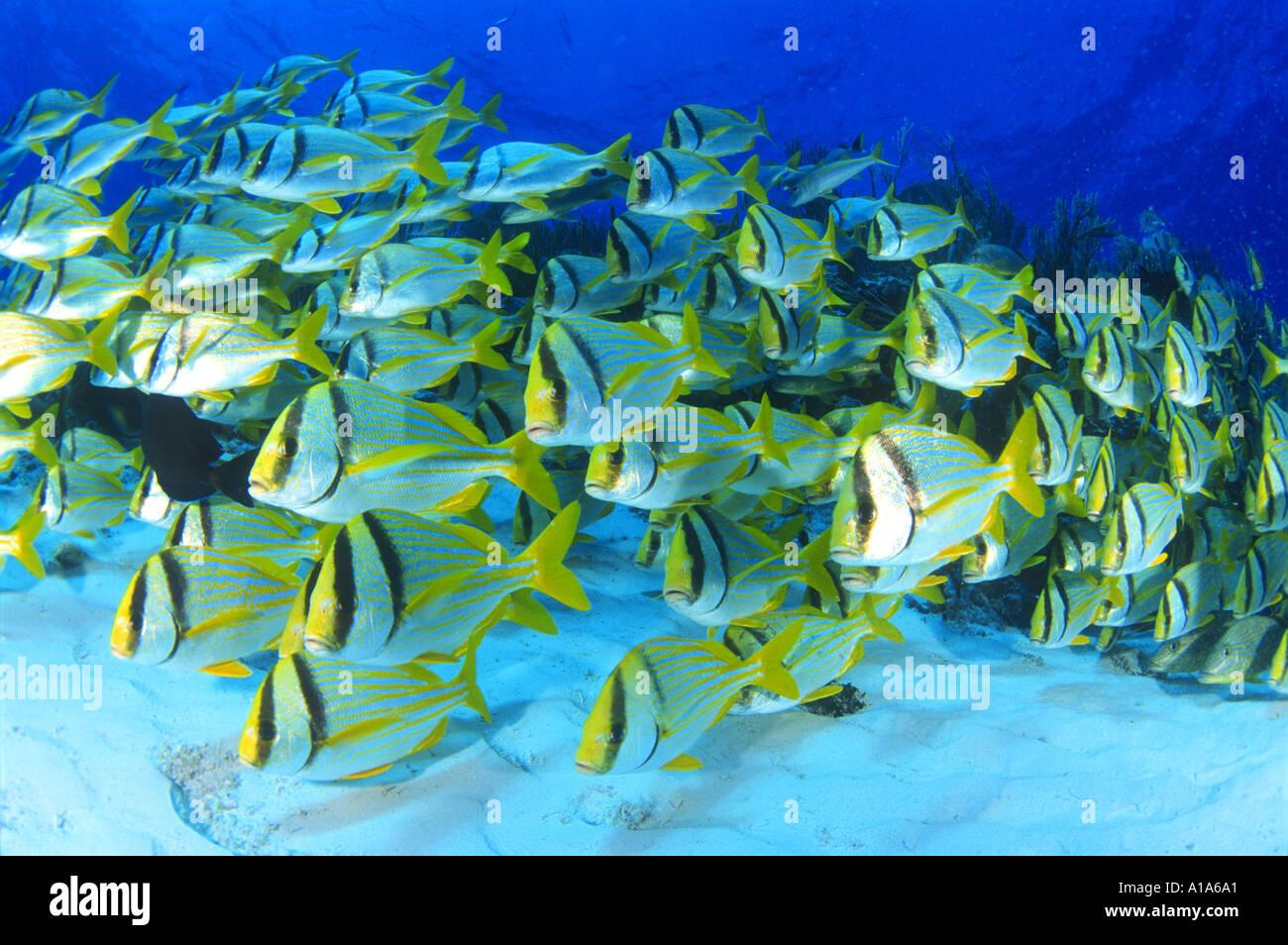 School of fish underwater mexico scuba diving ocean for School of fish