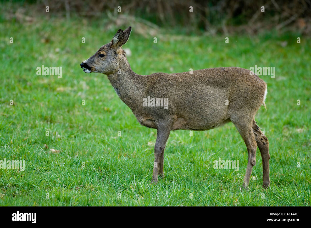 Pregnant Deer High Resolution Stock Photography And Images Alamy