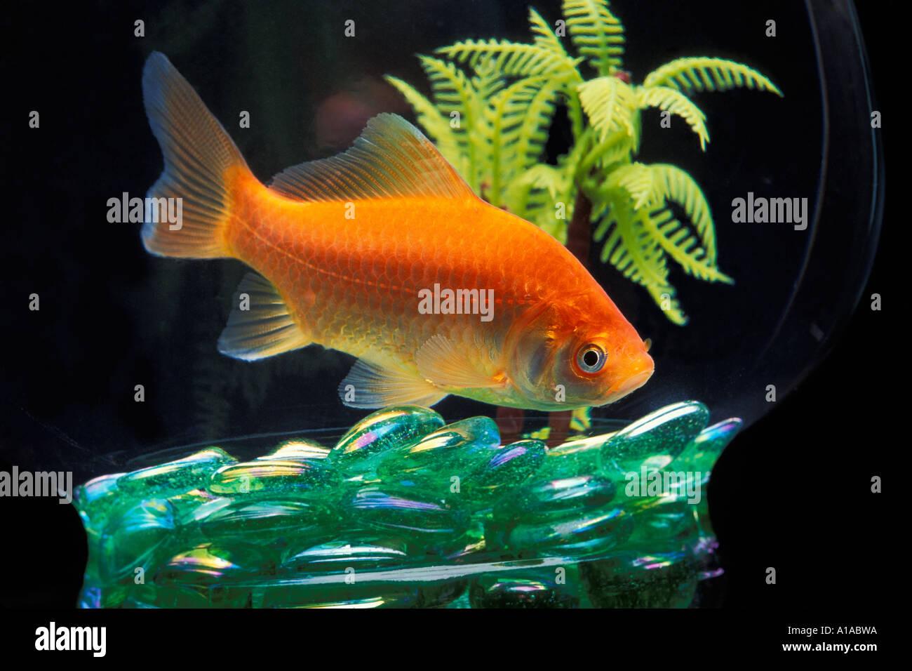 Gold Fish Bowl Stock Photos & Gold Fish Bowl Stock Images - Alamy