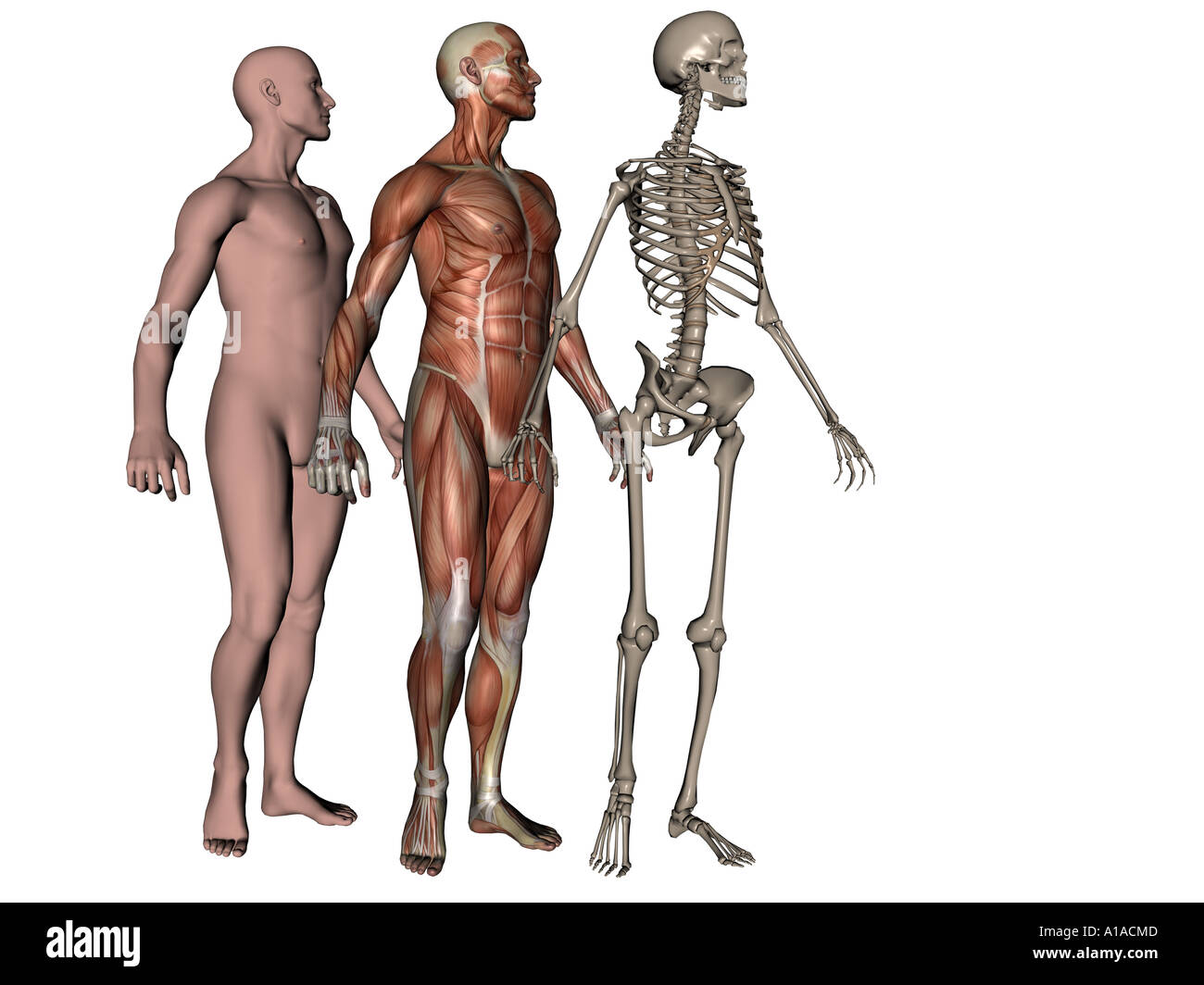 Anatomical Illustration Showing Man With Skin Musculature And Stock