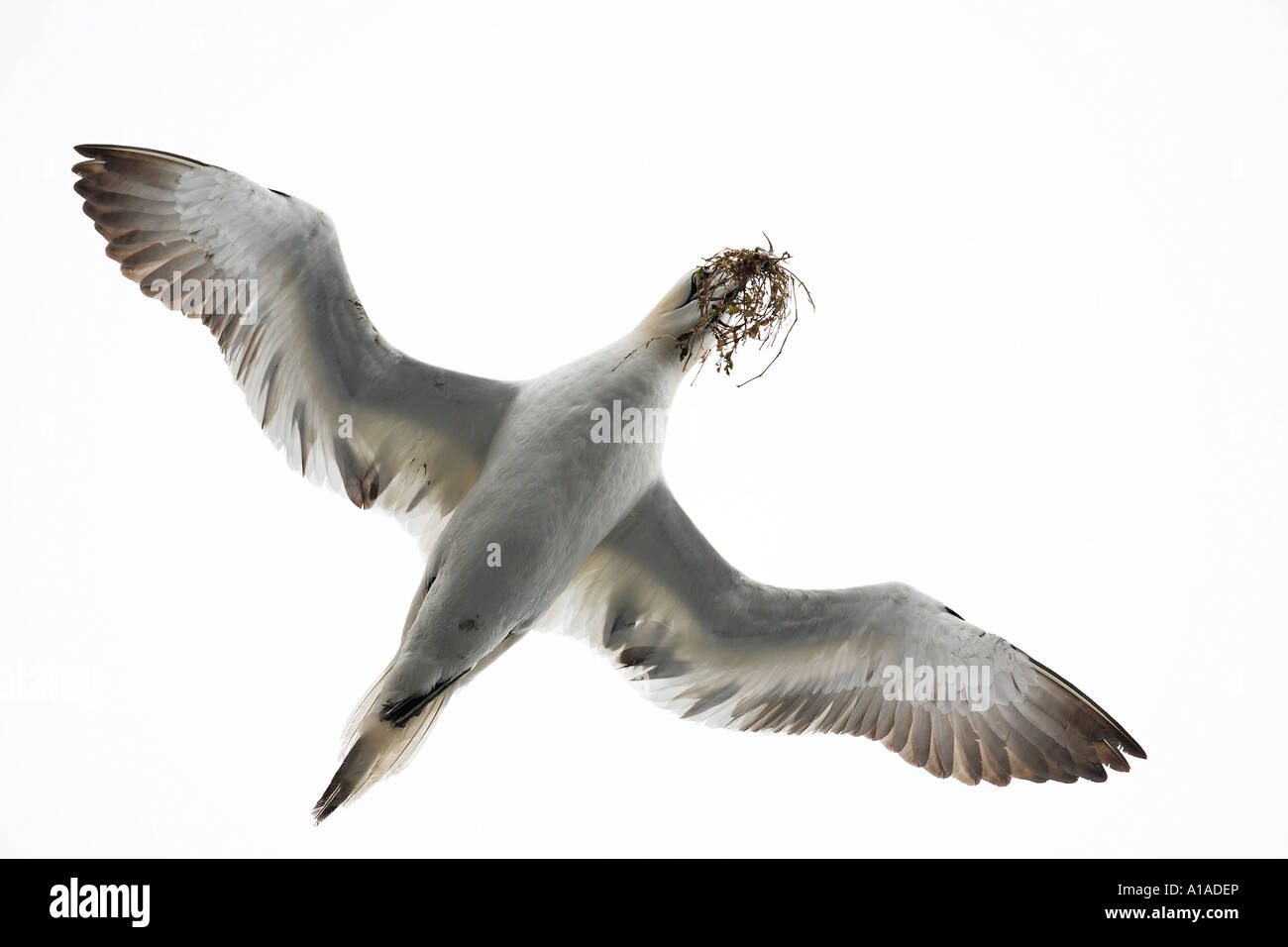 Gannet at flight with nesting material in his beak (Sula bassana) Saltee Islands, Ireland - Stock Image