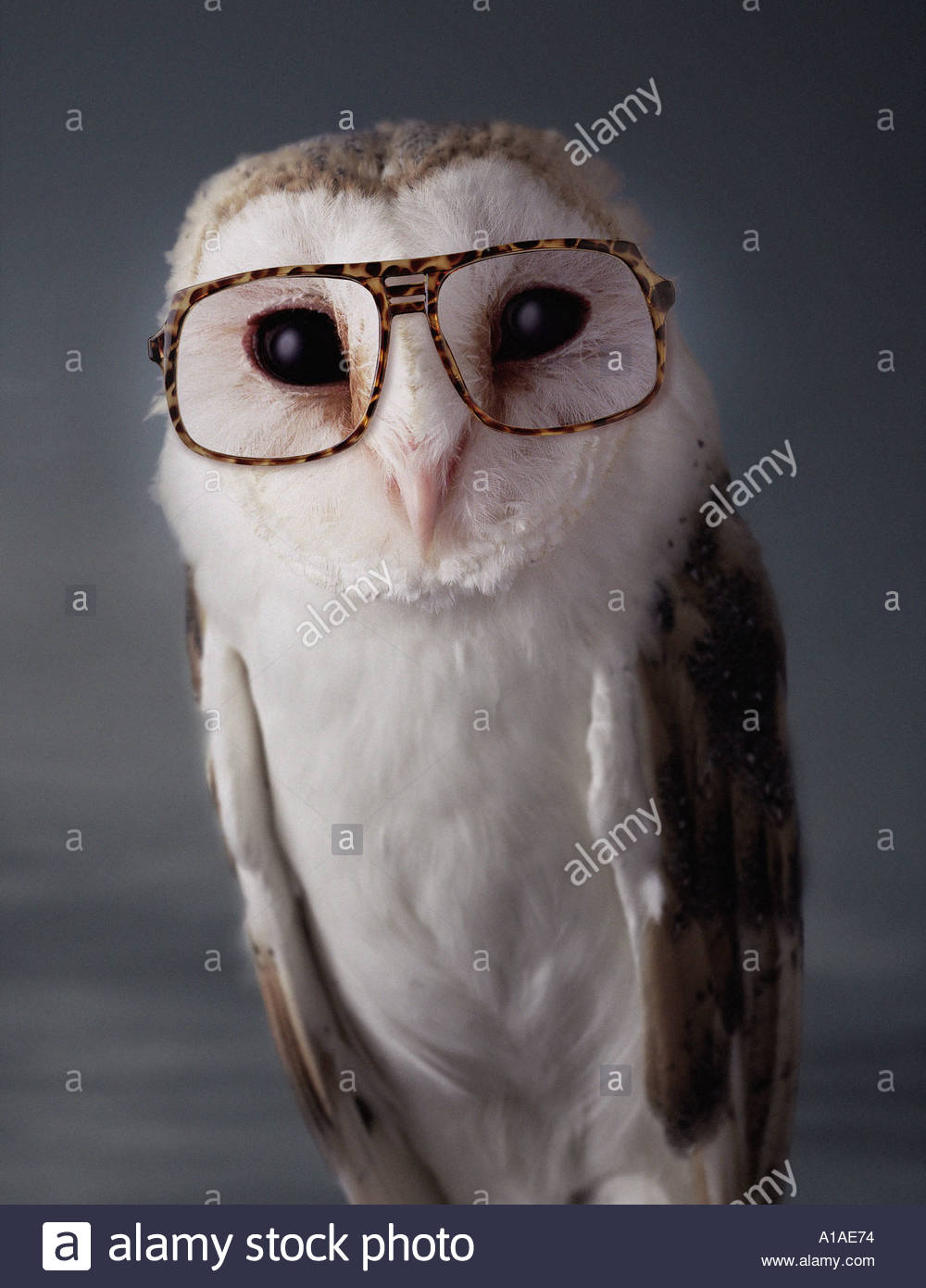 Barn owl - Stock Image