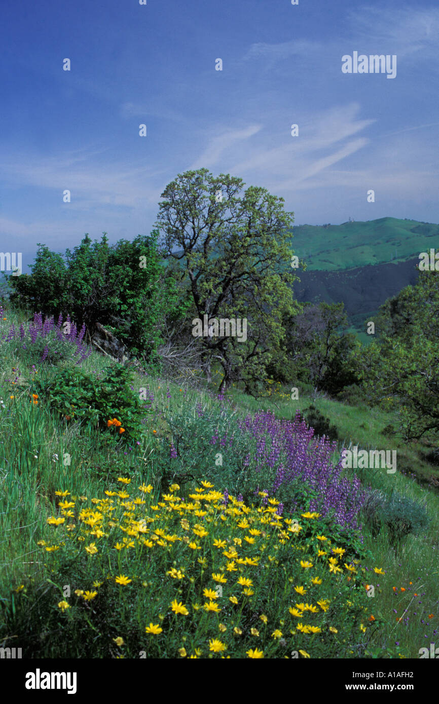 California mt diablo spring flowers on east trail stock photo california mt diablo spring flowers on east trail mightylinksfo