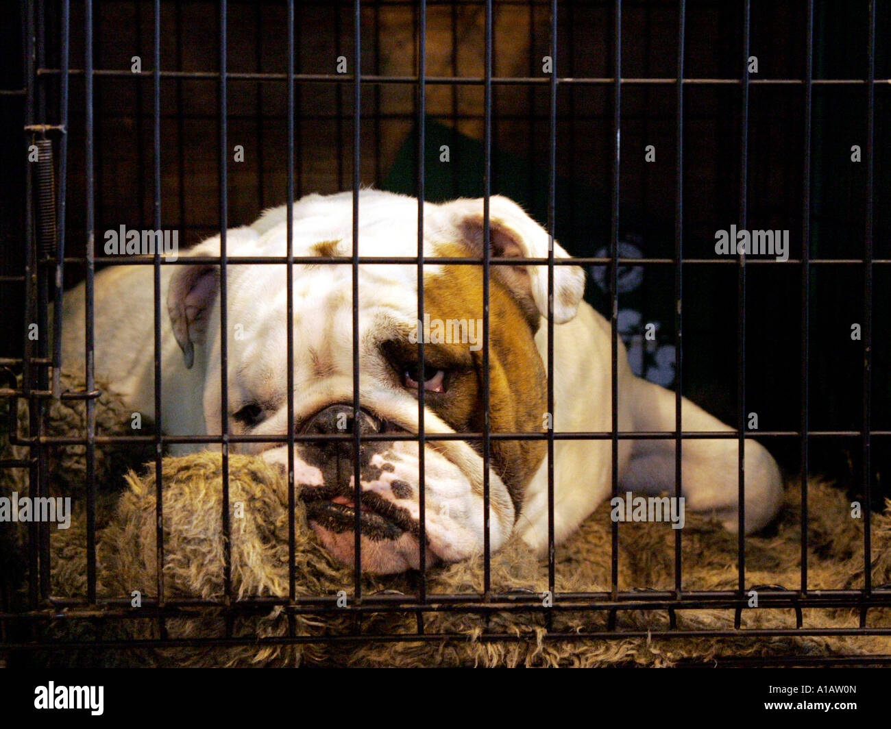 A british bulldog looking bored in a cage at Crufts 2008. - Stock Image