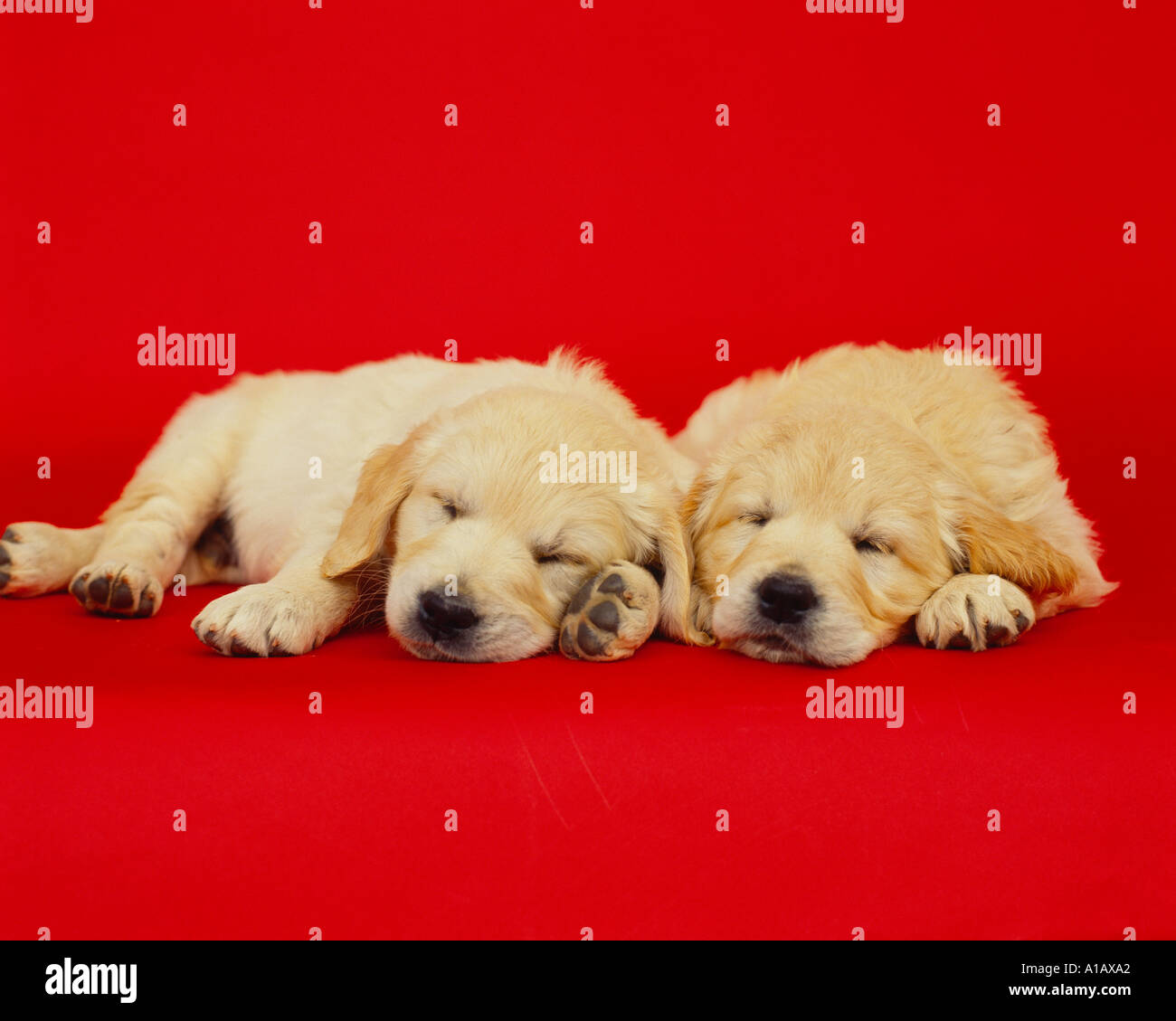 two golden labrador pups sleeping on a red backdrop, - Stock Image