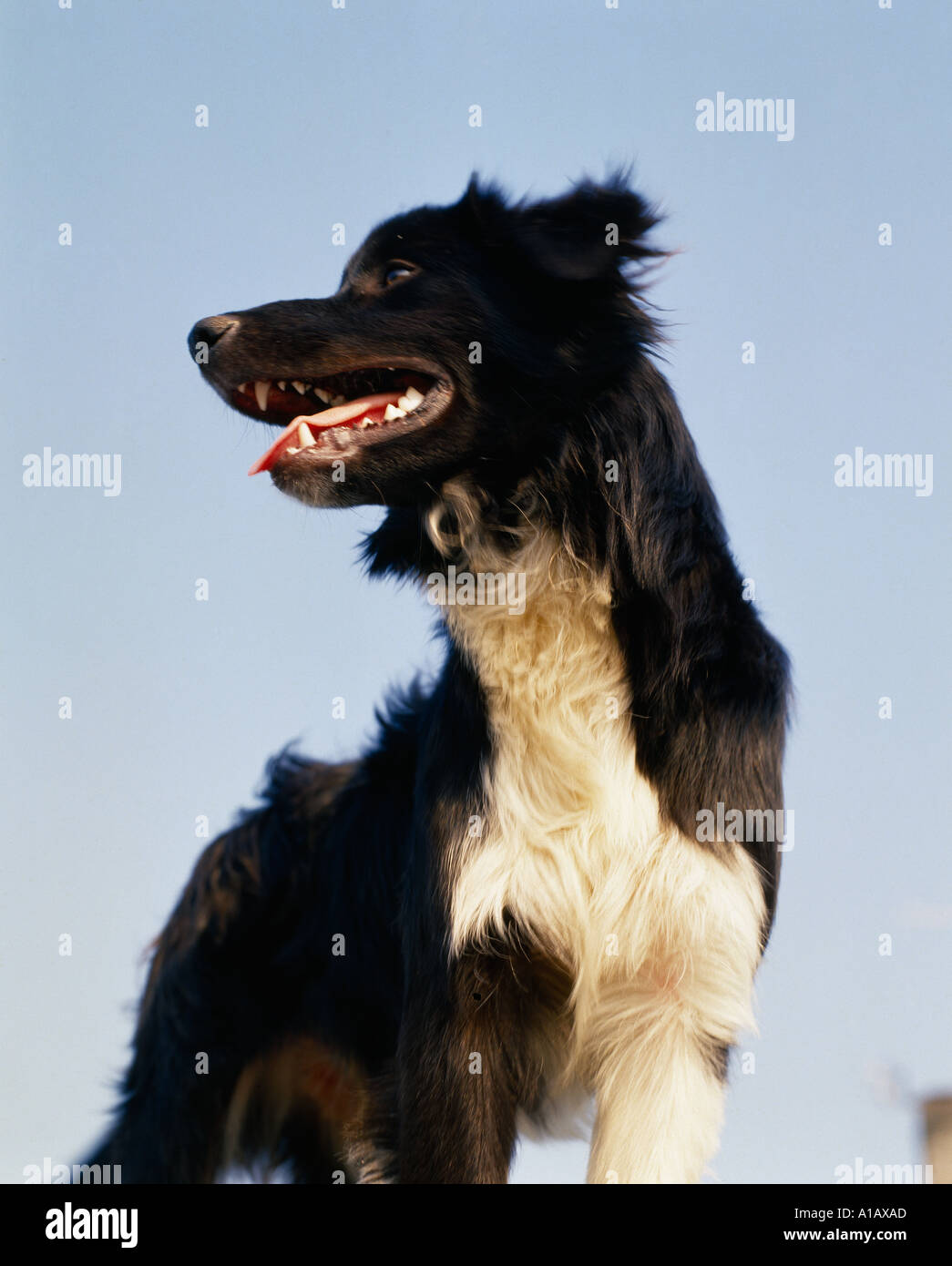 ireland, county offaly, adult sheep dog  dogs standing on an irish inland quay wall, - Stock Image