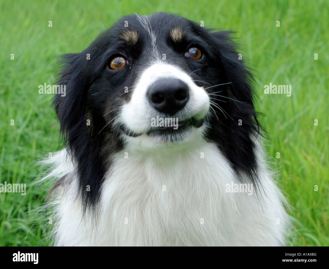 A collie pulling a face at the camera. - Stock Image