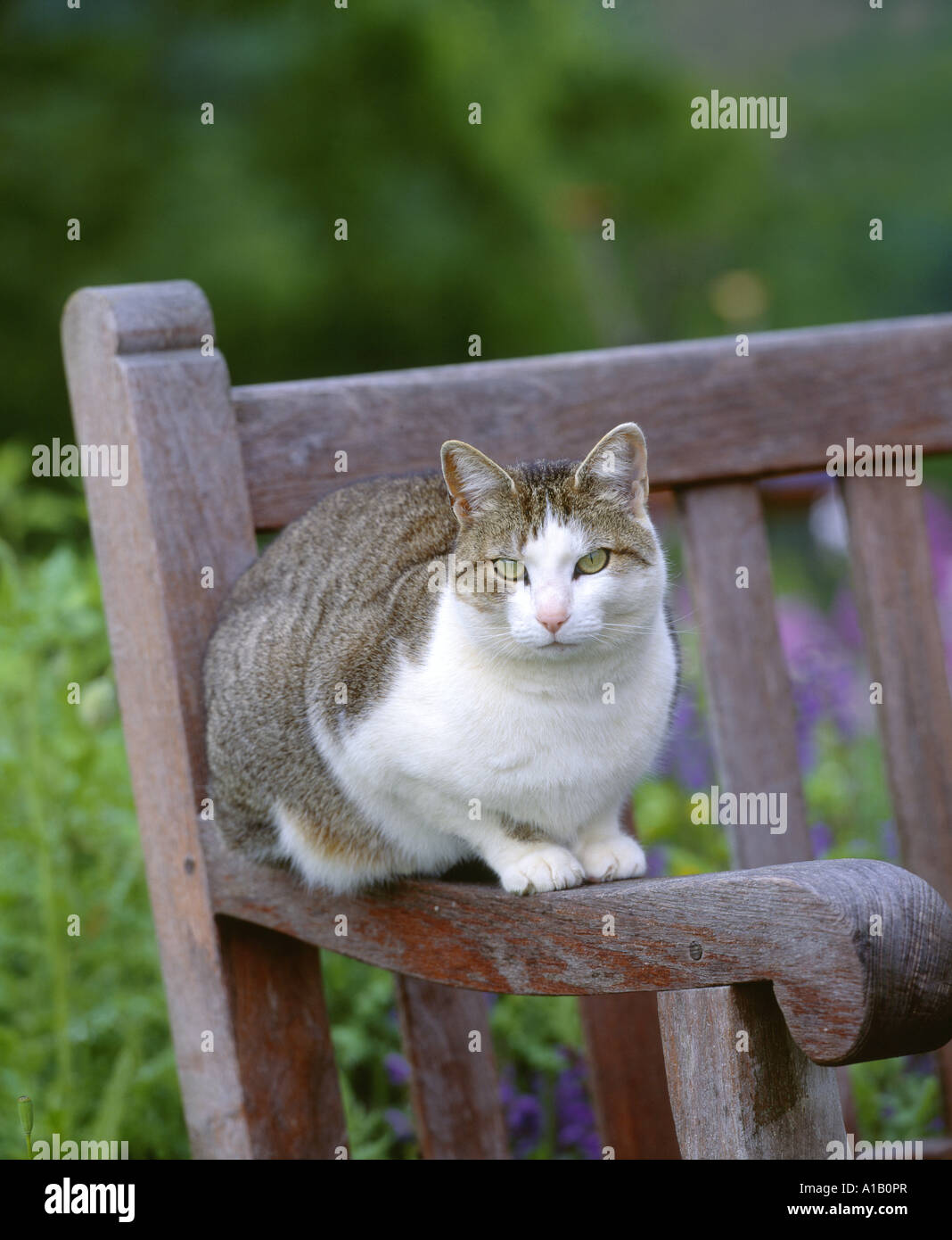 Brilliant Tabby Cat On Garden Bench Pennsylvania Stock Photo Inzonedesignstudio Interior Chair Design Inzonedesignstudiocom