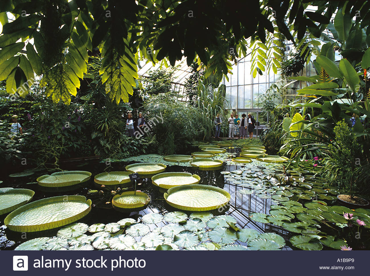 A POND INSIDE ONE OF THE GLASS HOUSES IN THE ROYAL BOTANIC GARDEN EDINBURGH - Stock Image