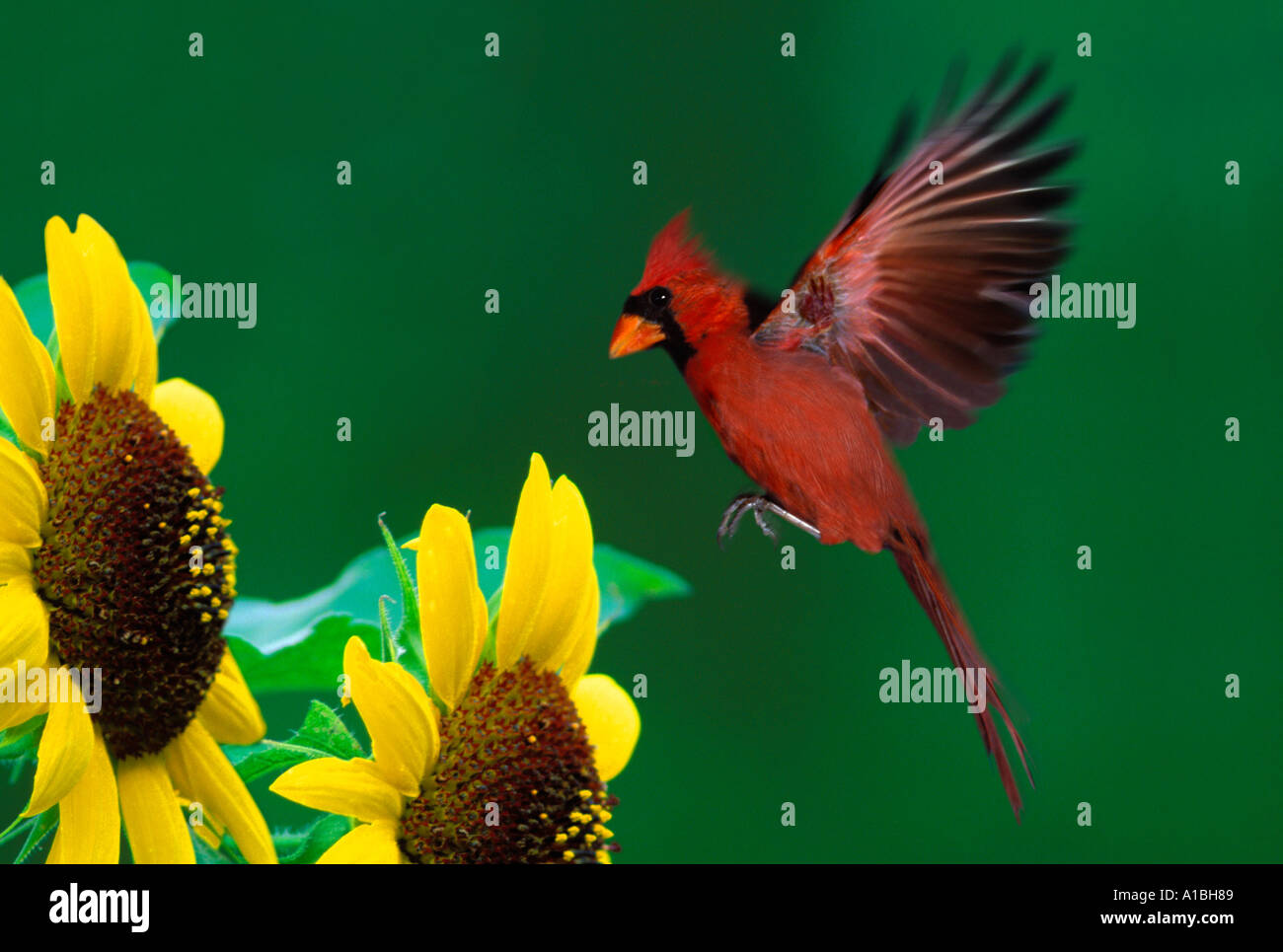 Male Northern Cardinal (Cardinalis cardinalis) flying in, wings outstretched, for landing on sunflower and seeds, Midwest USA - Stock Image