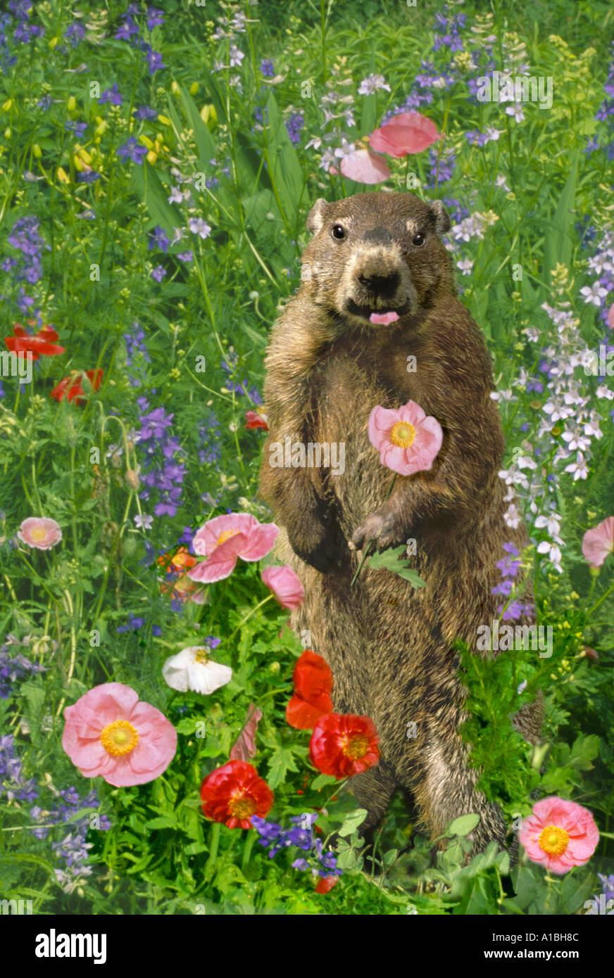 Woodchuck groundhog marmota monax standing in poppy field eating a woodchuck groundhog marmota monax standing in poppy field eating a flower missouri united states usa mightylinksfo