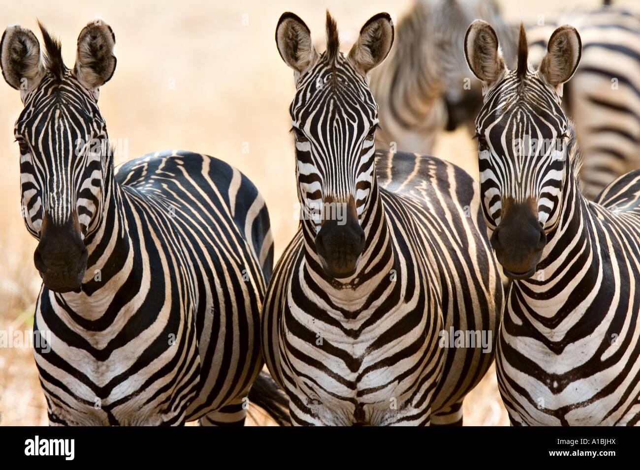 Boehmi Zebras (Equus Quagga Boehmi) in Tarangire National Park, Tanzania, Africa - Stock Image