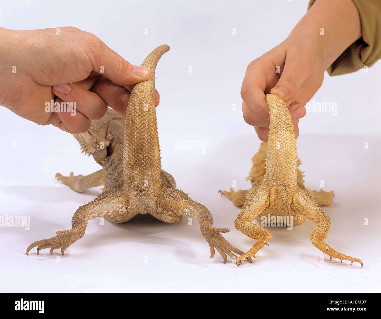 Two Australian Bearded Dragons Left Male Right Female