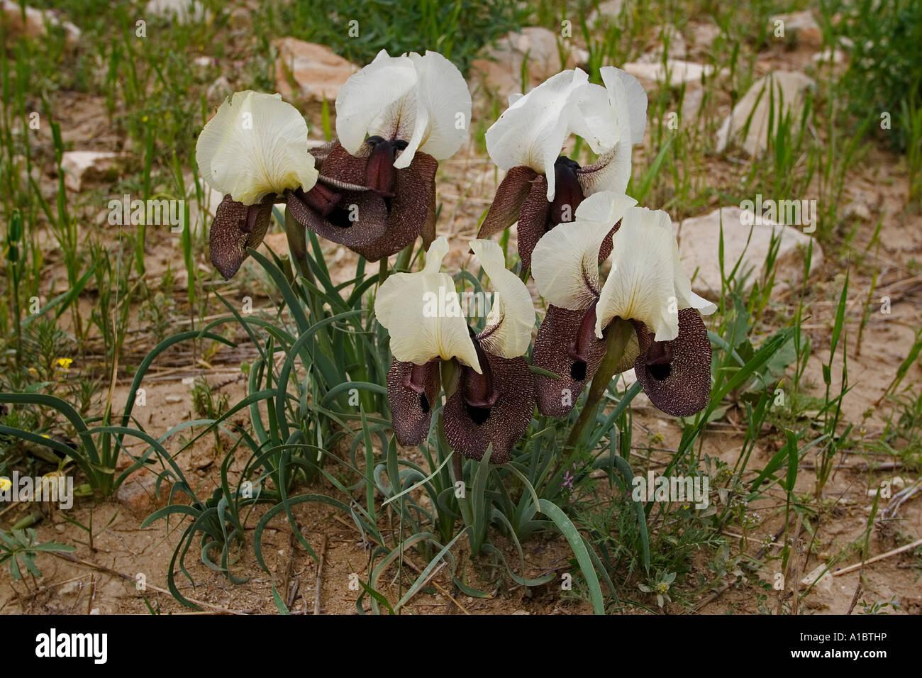 Bearded Iris Iris iberica Erzurum Turkey - Stock Image