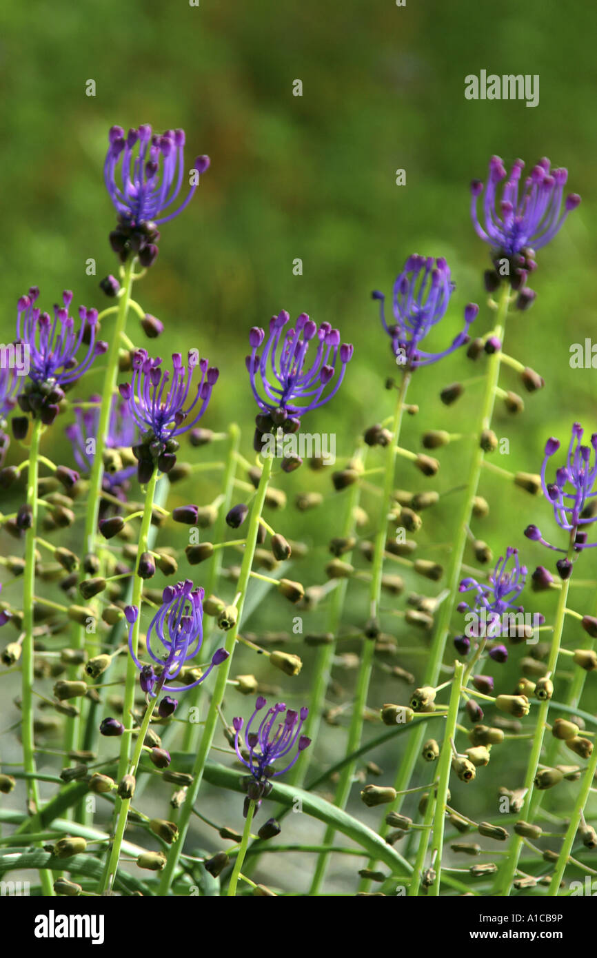 feather hyacinth (Muscari comosum), inflorescence, the blue flowers are sterile and serve only for attraction Stock Photo