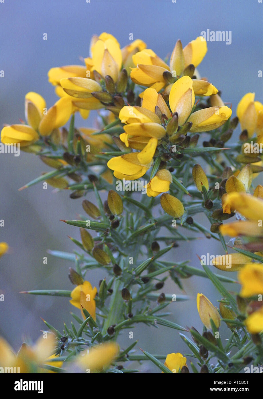 gorse, furze, golden gorse (Ulex europaeus), detail of the blossoms, Spain, Canary Islands, Tenerife - Stock Image