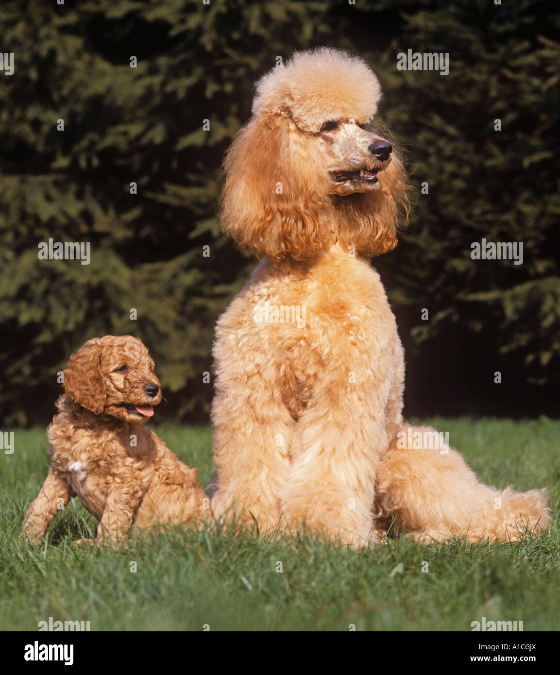 Standard Poodle Apricot And Puppy On Meadow Stock Photo Alamy