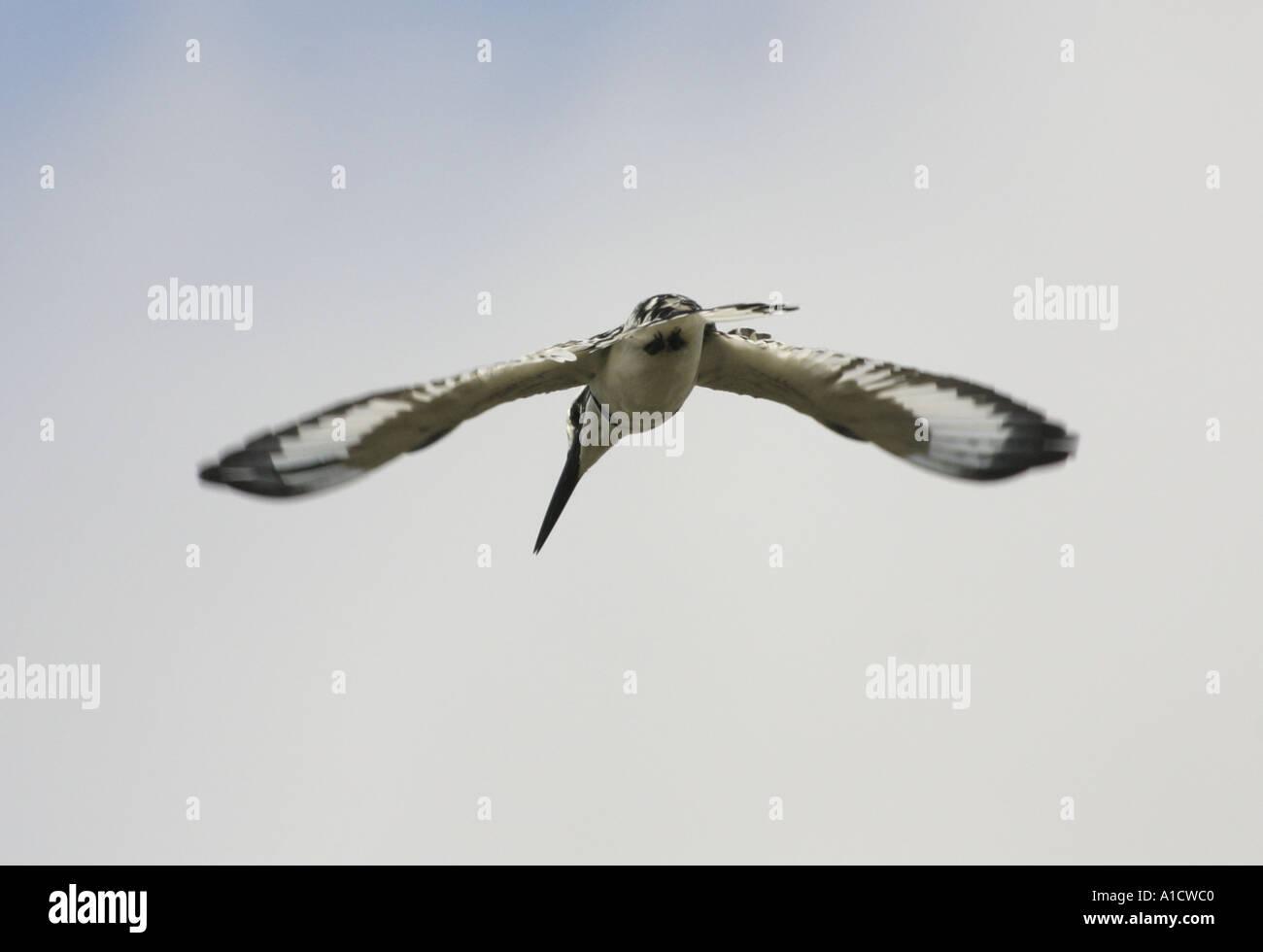 Senegal or pied kingfisher fishing in the Muni lagoon near Winneba Ghana - Stock Image