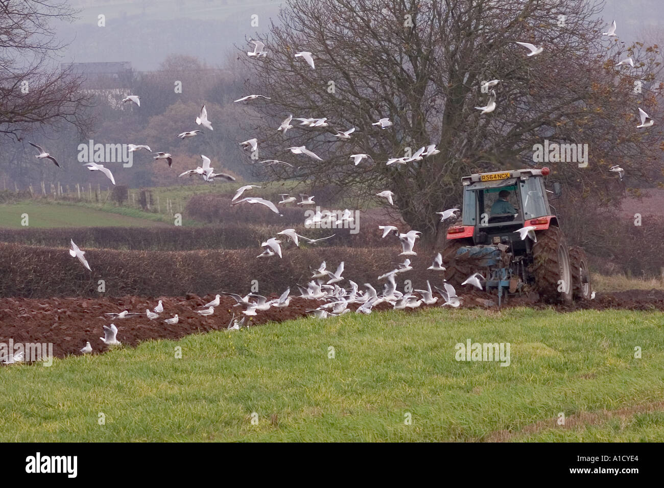 Gulls following the plough - Stock Image
