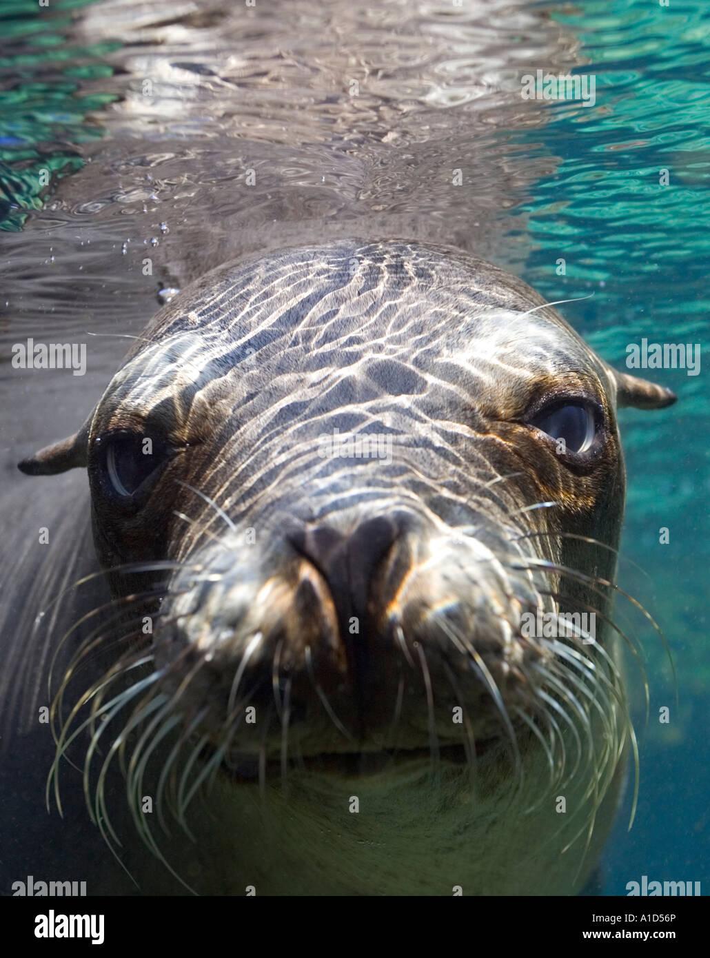 nu1874. Galapagos Sea Lion, Zalophus wollebaeki, underwater portrait. Galapagos, Pacific Ocean. Photo Copyright - Stock Image