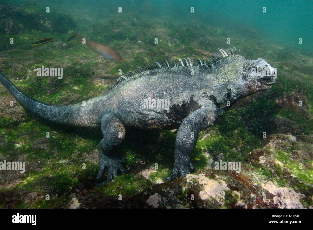 nu2381. Marine Iguana, Amblyrhynchus cristatus, underwater feeding on algae. Galapagos. Photo Copyright Brandon - Stock Image